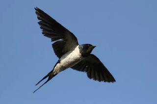 Suara Burung Walet Super Terbaik
