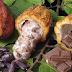 El cacao, el alimento de los dioses descubierto por Cristóbal Colón