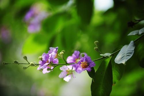 Nhành hoa bằng lăng tím đẹp
