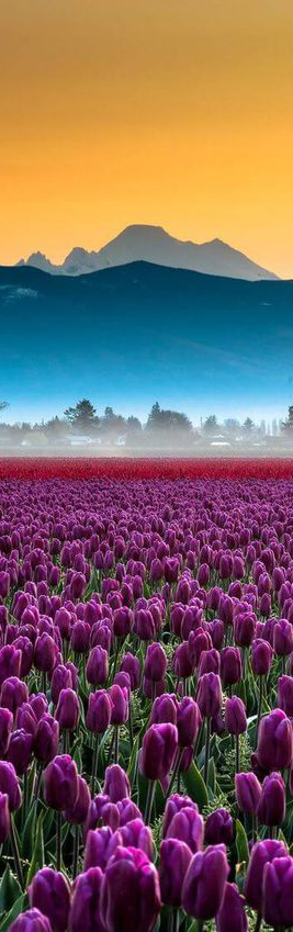 Skagit Valley tulip fields in Mount Vernon, Washington and 50+ Secret Places in America That Most Tourists Don't Know About