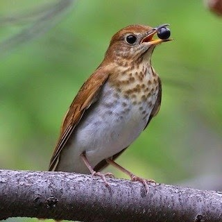 Willow thrush bird song