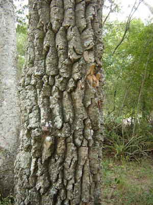Aspidosperma quebrachoblanco tronco