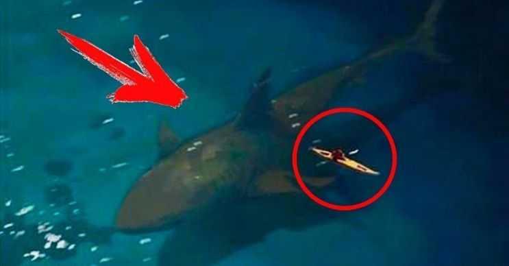 Camgöz köpek balığı da sık sık acemi kimselerce Megalodon ile karıştırılmaktadır.