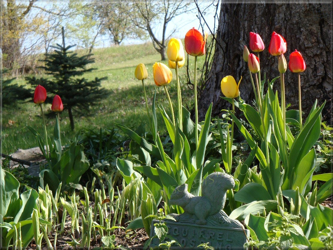 tulips at squirrel crossing photo