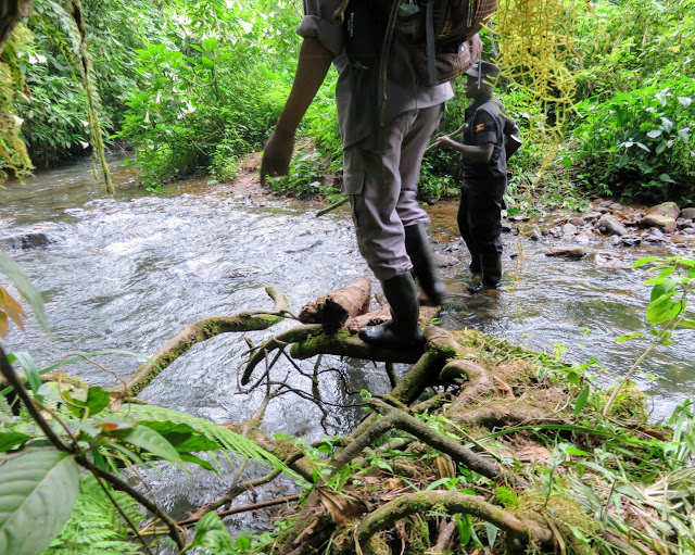 Fording a stream in the Bwindi Impenetrable Forest in Uganda