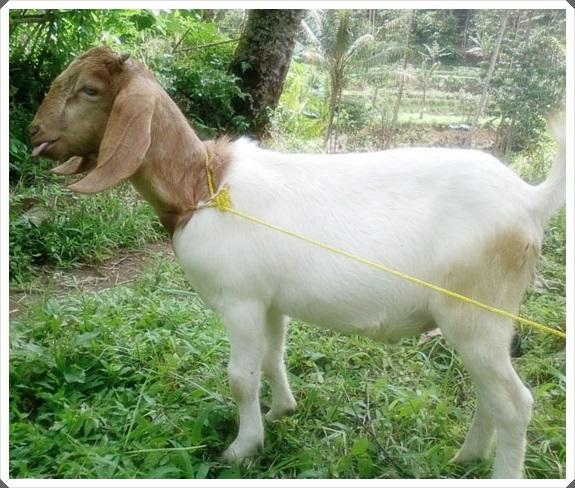gambar 2 kambing boerawa lampung