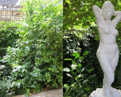 Halleria was planted in December 2014 Psychotria planted in the shade June 2015