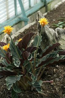 Calathée safranée - Calathea crocata - Phyllodes crocata