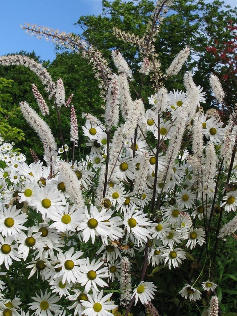 Actaea simplex 'Brunette' y Leucanthemella serotina.