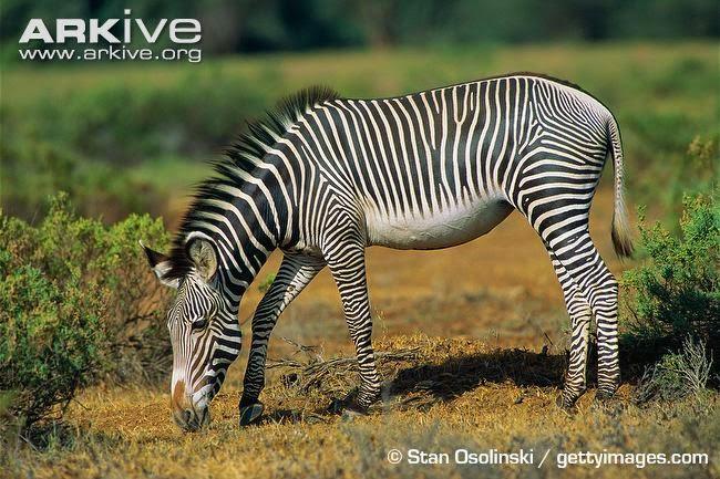 endangered zebras
