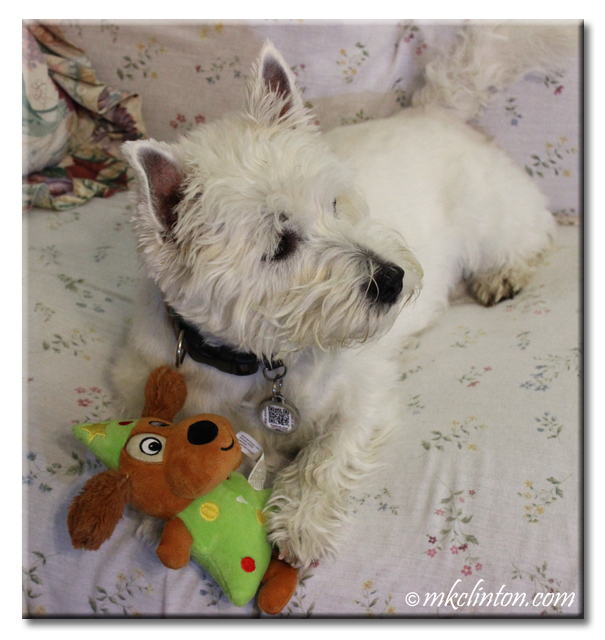 Westie with Christmas tree dog toy