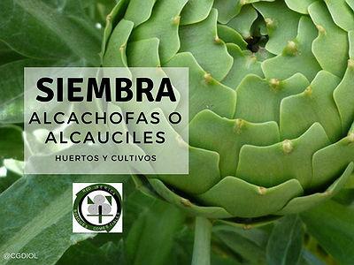 Para sembrar alcachofas o alcauciles lo esencial es que la tierra este previamente corregida con Humus de Lombriz