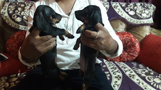 dachshund puppies for sale in bangalore