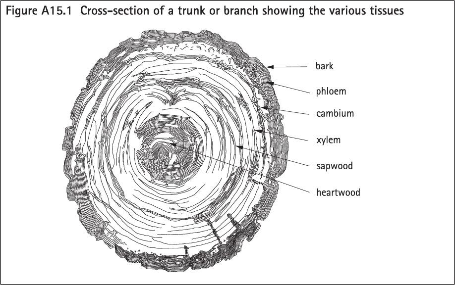 tree trunk layers diagram