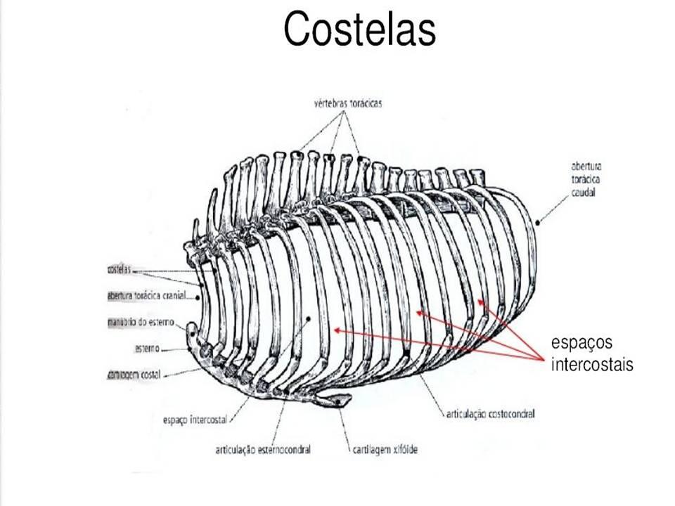 zootecnia ufms  esqueleto axial  bovino