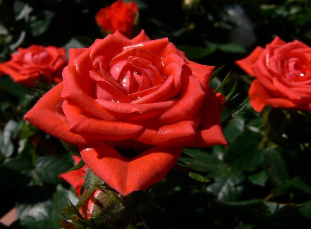уха человека королевская роза картинка просто расскажу тех