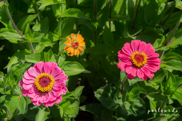 Gorge White House, Oregon zinnias in bloom