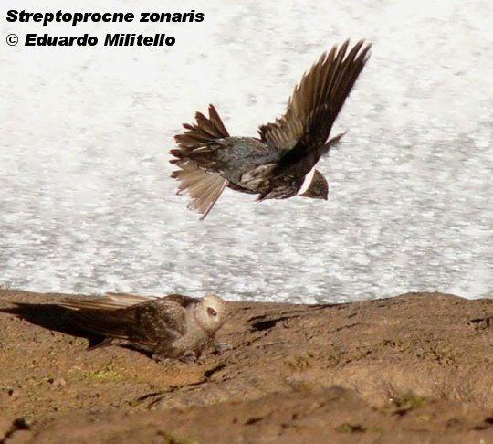 swift birds