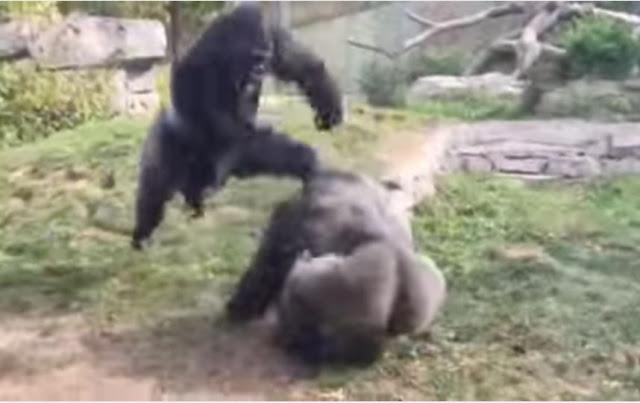 ¡Estos dos Gorilas protagonizaron una increíble pelea en un  Zoológico!