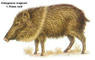 Chancho quimilero Catagonus wagneri