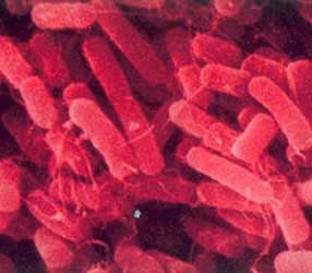 bacterii klebsiella