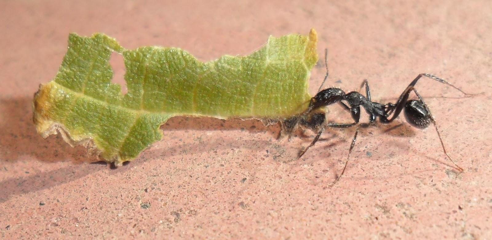 Hormigas Amarillas: Observación sobre Aphaenogaster sp.