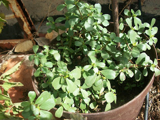 Portulaca oleracea, verdolaga, usos y propiedades
