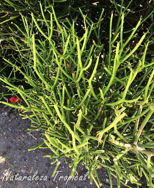 Vista de los tallos característicos de la planta suculenta llamada Palillos Chinos, Euphorbia tirucalli
