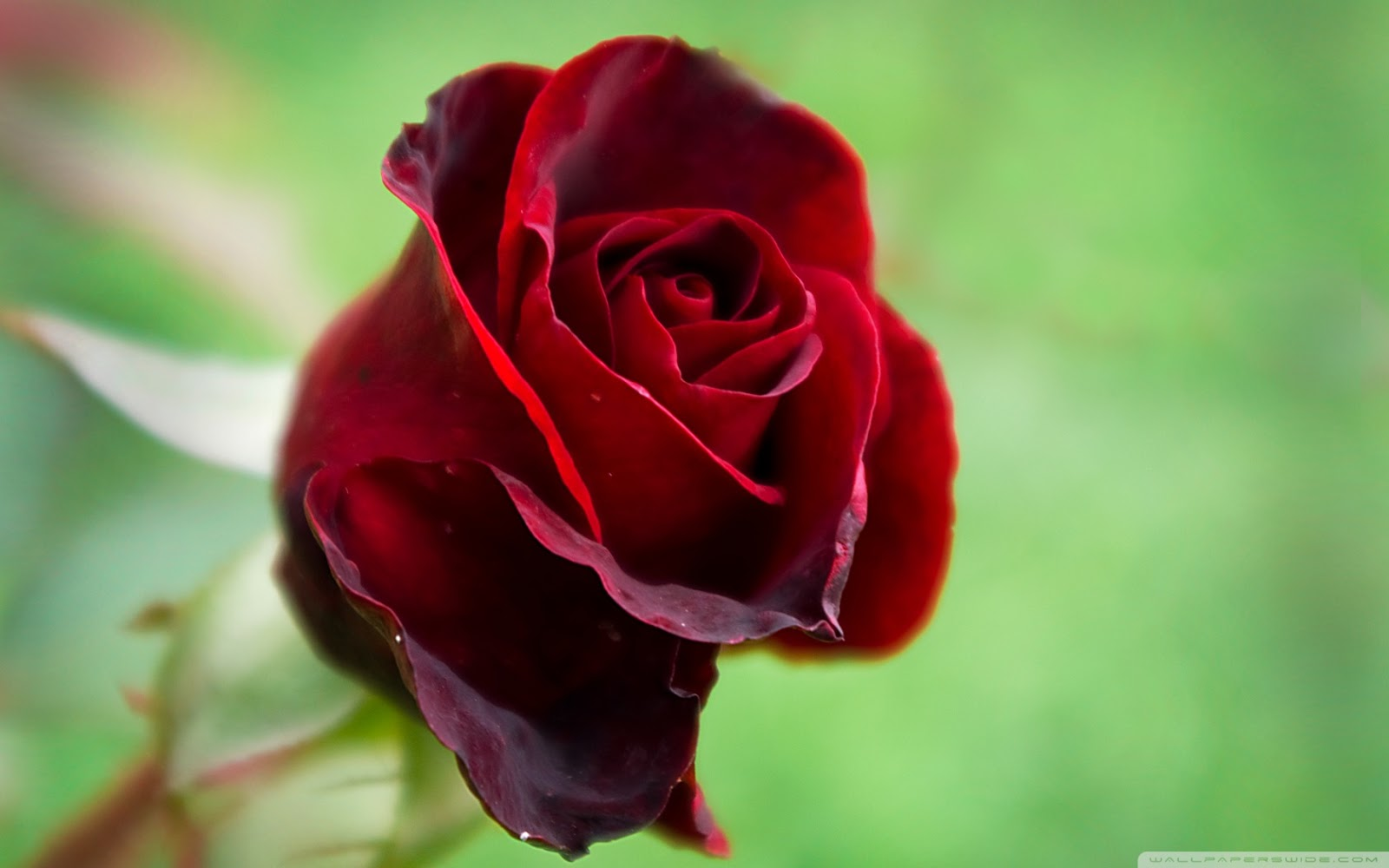 Single Flower Wallpapers: Beautiful Red Rose Flowers Wallpapers