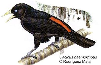 Boyero cacique Cacicus haemorrhous