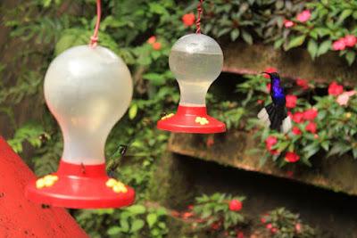 Colibri en Selvatura Park