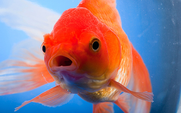 Gangsterism out blog goldfish growing into giant canadian for How to euthanize a fish