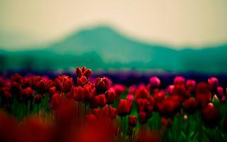 صور ورود 2017 , اجمل صور زهور , صور ورد جميلة منوعه 2017 حمراء زرقاء خضراء حب