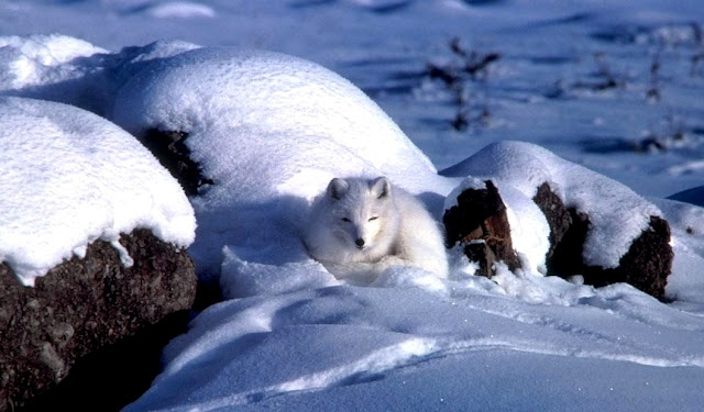 Beruang kutub di Alaska