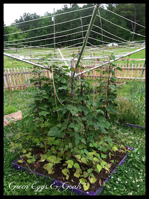 This clothesline bean trellis is so cool and check out that purple garden! Too cool not to pin!
