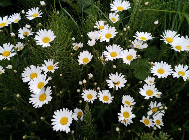 wild daisies, flowers, Galway, Ireland