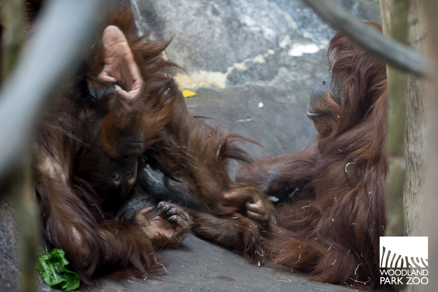 Godek and Chinta orangutans