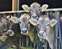 usaha ternak sapi, modal bisnis ternak sapi, modal ternak sapi, ternak sapi, bisnis ternak sapi, sapi