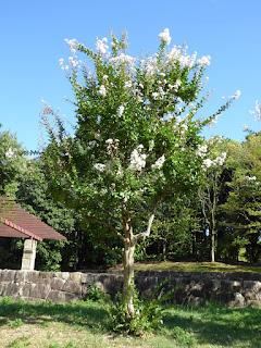 山田池公園 白いサルスベリ