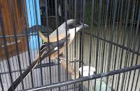 Membersihkan Sangkar Burung Secara Rutin Setiap Harinya