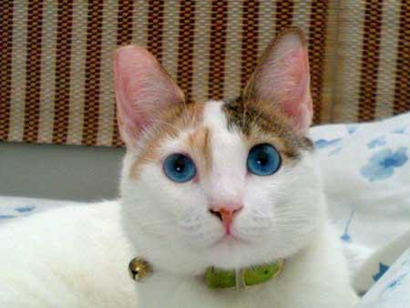 Ojos Azules Kucing Langka Bermata Biru Info Terkini