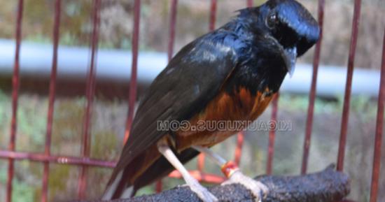 Mb Cuma Ngriwik Atau Bahkan Macet Bunyi Ganti Ulat Kandang Jangan Jangkrik Hobi Burung