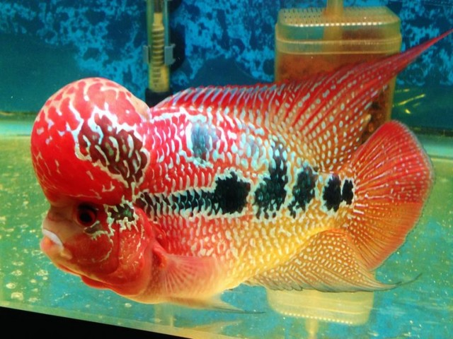 Gambar Ikan Louhan