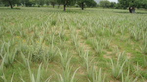 ORGANIC CULTIVATION OF ALOE VERA PLANTS