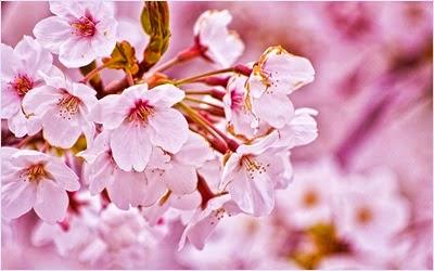 ดอกซากุระ (Sakura)