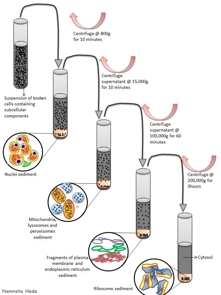 centrifugation techniques and the isolation of cauliflower mitochondria Cell fractionation and organelle isolation extensive centrifugation or dialysis steps that may the thermo scientific mitochondria isolation kit uses.