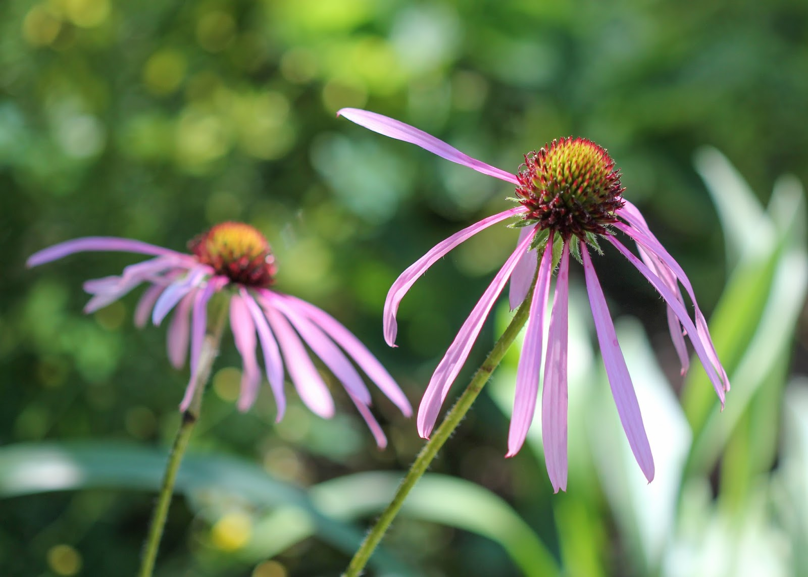 Red House Garden The Pale Purple Coneflower