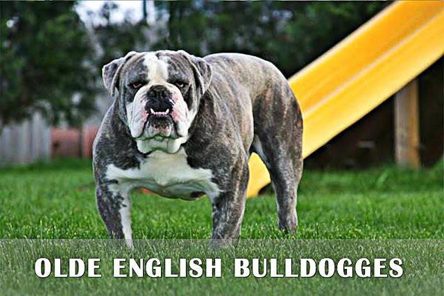 Olde English Bulldogge Chien de garde