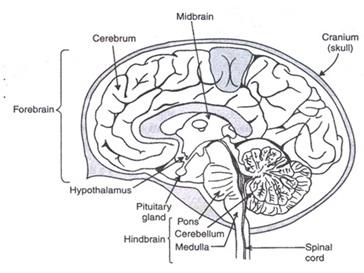 मानवमस्तिष्क