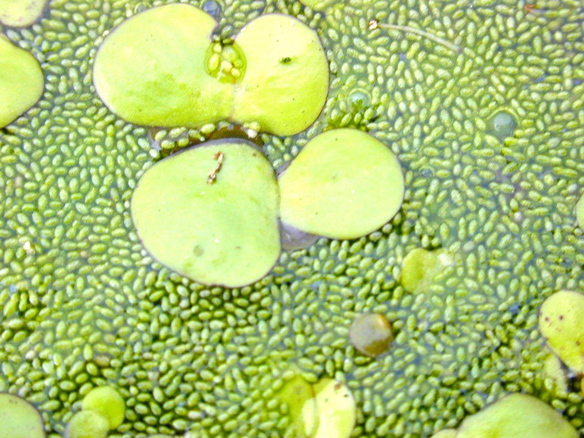 Buah Wolffia globosa atau Asian watermeal (wikipedia.org)